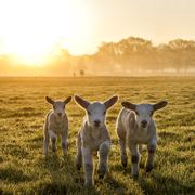 Trio of lambs on meadow at morning sun Stock Photos