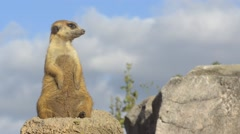 Suricata standing on a rock. Stock Footage