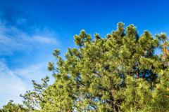 A beautiful krone of coniferous tree against the blue sky background Stock Photos
