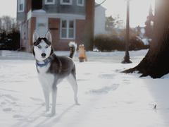 USA, Delaware, New Castle County, Wilmington, Husky dog on guard - stock photo