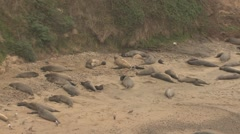 Elephant Seal Herd Resting Winter Beach Pan - stock footage