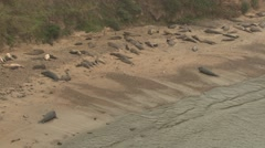 Elephant Seal Bull Adult Several Aggressive Winter - stock footage
