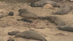 Elephant Seal Female Adult Young Several Winter Pup Newborn - stock footage