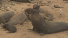 Elephant Seal Bull Adult Young Several Calling Winter Stock Footage