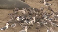 Gull Flock Feeding Winter Carcass Dead Pup Frenzy Stock Footage