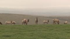 Tule Elk Cow Adult Young Herd Feeding Winter Stock Footage