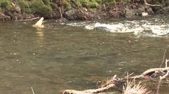Coho Salmon Adult Pair Breeding Winter - stock footage
