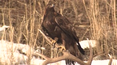 Stock Video Footage of Golden Eagle Adult Lone Flying Winter Antlers