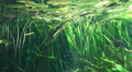 Underwater scene with lotus plants and tropic fishes Footage