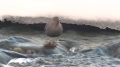 Dipper Lone Hunting Winter Stock Footage