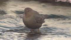 Dipper Lone Feeding Winter Invertebrate Aquatic Stock Footage