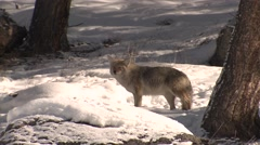 Coyote Lone Walking Winter Carrion Carcass Scavenger Stock Footage