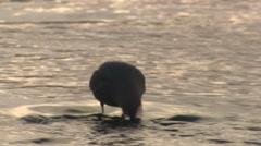 Dipper Lone Feeding Winter Backlight Stock Footage