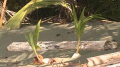Coconut Palm Winter Nut Seedling Regeneration - stock footage