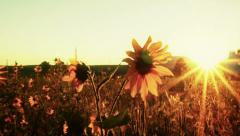 Sunflower and Sun Flare Pan Stock Footage