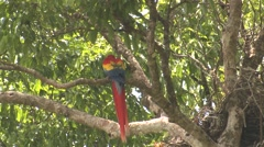 Scarlet Macaw Lone Winter Tail Stock Footage