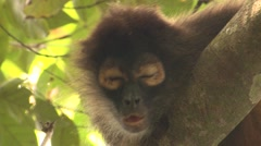 Spider Monkey Lone Winter Geoffroys Black-handed Face Closeup Stock Footage