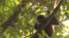 Spider Monkey Lone Yawning Winter Geoffroys Black-handed Zoom Out Stock Footage