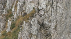 Males chamois resting on the rocks. Stock Footage