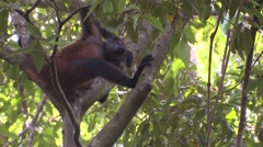Spider Monkey Lone Resting Winter Geoffroys Black-handed Stock Footage