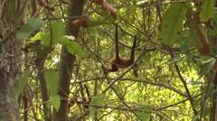 Spider Monkey Several Walking Winter Geoffroys Black-handed Stock Footage