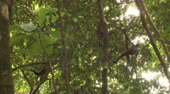 Spider Monkey Several Winter Geoffroys Black-handed Hanging Swinging Tail Stock Footage