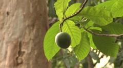 Trees & Shrubs Corcovado National Park Winter Nut Fruit Jungle Stock Footage