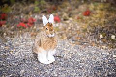 USA, Alaska, Denali National Park, Snowshoe hare (lepus americanus) Stock Photos