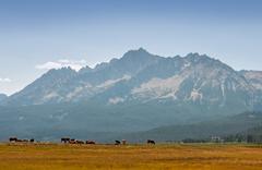 USA, Idaho, Custer County, Stanley, Cows in Idaho Mountains Stock Photos