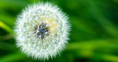 USA, Idaho, Up close of wild dandelion Stock Photos