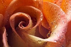 USA, Idaho, Up close of rose peals with water drops Stock Photos