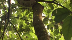 Leaf Cutter Ants Colony Winter Stem Tree Carrying Leaves - stock footage