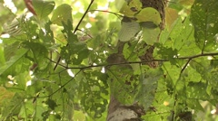 Leaf Cutter Ants Colony Collecting Winter Canopy Leaf Leaves Tree Stock Footage
