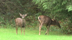 Attentive Deer - stock footage