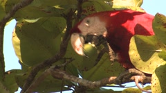 Scarlet Macaw Lone Feeding Winter Closeup - stock footage