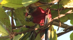 Scarlet Macaw Lone Feeding Winter Nuts Falling Zoom Out - stock footage