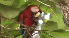 Scarlet Macaw Lone Feeding Winter - stock footage