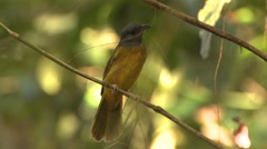 Songbird Corcovado National Park Winter - stock footage