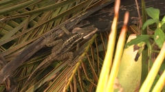 Striped Basilisk Lone Winter Stock Footage