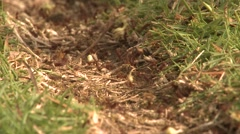 Leaf Cutter Ants Winter Worn Trail Stock Footage