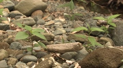 Lizard Corcovado National Park Winter - stock footage