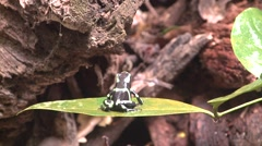 Green-and-black Poison Dart Frog Lone Winter Stock Footage