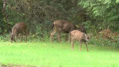 Family of Deer Eating Grass Stock Footage