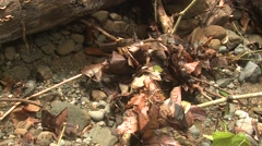 Ant Corcovado National Park Colony Walking Winter Biodiversity Jungle - stock footage