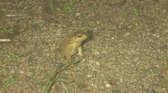 Cane Toad Winter Night Giant Floodlight Stock Footage