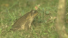 Cane Toad Winter Night Giant Floodlight - stock footage
