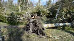 The fallen poplar. This video is also in my portfolio in the HD format. Stock Footage