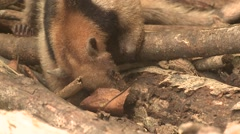 Tamandua Lone Feeding Winter Northern Anteater Stock Footage