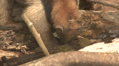 Tamandua Lone Feeding Winter Northern Anteater Stock Footage