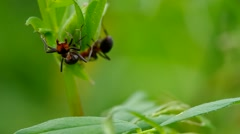 Two ants in the grass Stock Footage